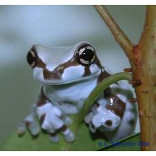 Квакша жабовидная