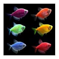 Тернеция цветная GloFish