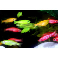 Данио Рерио цветной GloFish