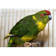 Какарик попугай, 1 пара