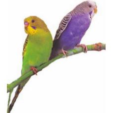 Попугай волнистый (самка)