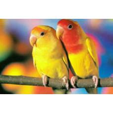 Попугай Неразлучник розовощёкий жёлтый