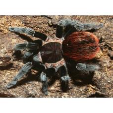 2 Паук Брахипельма Ваганс (Brachypelma vagans), размер XS, малыш