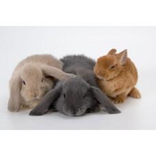 Кролик карликовый