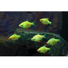 Барбус цветной GloFish
