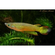 Линеатус золотой щучка (Aplocheilus lineatus)